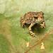 Fowler's Toad, Metamorph
