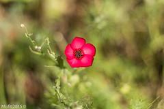 Pretty (Misfit fotografie) Tags: flowers red flower holland green beautiful yellow garden pretty bokeh colorfull misfit baarn colourfull