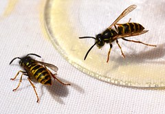 Wasps Getting Drunk - original photo, August 2015 (ketrin1407) Tags: insect picnic wasp wine stripes sting wing alcohol wineglass tablecloth antennae compoundeye apocrita hymnoptera
