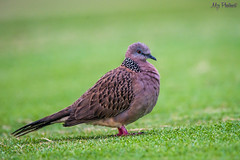 Eastern Spotted Dove (mmushfiq75) Tags: bali nature birds indonesia dove wildlife spotted eastern tanahlot spotteddove tabanan wildlifephotography easternspotteddove