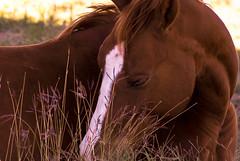 Horse life IV (Josué Godoy) Tags: horse caballo cheval australia wildlife beauty beauté belleza salvaje sauvage