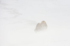 Wild Norway (George Pancescu) Tags: nikon d7200 70200mm muskox wild wildlife animal mammal winter snow blizzard white nature natural outdoor norway dovrefjell europe windy wind