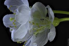 Cherry blossoms (Alzheimer1) Tags: kirschblüte blüte blossom cherry blumen tree baum white