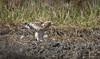 นกอินทรีเล็ก / Booted Eagle / Aquila pennata (pale morph) (bambusabird) Tags: birds eagle bootedeagle eat food ricefield field doilor chiangmai thailand bambusabird