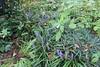 Liriope muscari (Ruud de Block) Tags: asparagaceae liriopemuscari taxonomy:binominal=liriopemuscari ruuddeblock