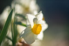 narcissus - すいせん (turntable00000) Tags: narcissus flower winter white shinjuku tokyo japan