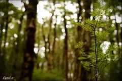 02 52 Something Old Something New (Lyndon (NZ)) Tags: tararua holdsworth 2017 forest forestpark bush tree plant nature nz newzealand wairarapa sony ilce7m2 week2201752weeksthe2017editionweekstartingsundayjanuary82017 week2theme bokeh greenn