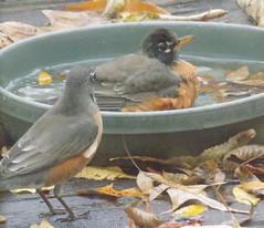 blogDSCN8047 (CarverS2) Tags: birds american robin
