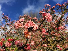 Spring In January? (Marc Sayce) Tags: tree spring blossom pink january blue sky skies winter 2017 lodge forest alice holt hampshire wrecclesham farnham surrey south downs national park