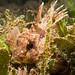 Fortescue - Centropogon australis