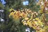 Acer glabrum, Teton Range (brian dean bollman) Tags: tetoncountywy tetonrange grandtetonnationalpark sapindaceae acer acerglabrum mountain maple