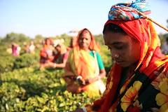C1_2016-161386 (HamimCHOWDHURY  [Read my profile before you fol) Tags: teagardenportrait girlnature tealeaf workingwomen