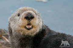 Sea Otter Portrait (fascinationwildlife) Tags: animal mammal wild wildlife nature natur sea ocean otter seeotter cute moss landing harbour california usa america winter portrait close up