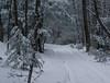 December, 2016 (koperajoe) Tags: hemlocks snowybranches westernmassachusetts woods roadslikethese forestroad woodsroad tracksinsnow snowytrees newengland forest