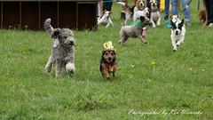 Lowland Games 2016 - Dog Races (lens buddy) Tags: dog flyingdogs lowlandgames2016 thorney somerset uk canoneos5dmkiii canonef70200mmlismkiiusm canondigital canine canoneosdigital fliyingdogs flight jumping running speed pet race racing dograce dogparade dogshow