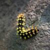 Colourful Caterpillar - Michoacan, Mexico (N+C Photo) Tags: d800 mexico travel traveler traveller travels traveling traveled adventure adventurer adventurers adventuring explore explorer explorers exploring holiday tourism tourist nikkor nikon michoacan mexicanos mexican caterpillar bug insect life nature natural