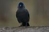 Checking the sandwich filling? (paulinuk99999 (lback to photography at last!)) Tags: paulinuk99999 london wildlife surrey jackdaw bird bushypark sal135f18za