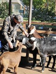 Goats - nibbling on my husband (Pix.by.PegiSue>Thx 4 over 5M+ views! See my Albums) Tags: pixbypegisue fresnochaffeezoo fresno fresnoca california canon animals zoo animalesexóticos desanimauxexotiques endangered flickr nature ngc natureza public roadtrip safari tourist touristspot travel visitthezoo wildlife wild exoticanimals zoos zooanimals zoophotography wwwflickrcomphotospixbypegisue