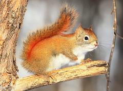 red squirrel at Sax-Zim Bog MN 854A0334 (lreis_naturalist) Tags: red squirrel saxzim bog minnesota larry reis