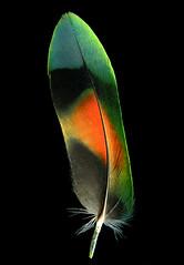 f_chevosfeather (ricksoloway) Tags: tucsonarizona thewestisbest arizonamojo birds lovebirds pets petbirds