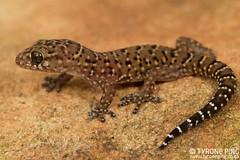 Pachydactylus vansoni - Vansons Gecko. (Tyrone Ping) Tags: pachydactylus vansoni vansons gecko pachydacylus africa southafrica tyroneping wwwtyronepingcoza canon canon7d 100mmmacrof28 mt24ex macro closeup golden gate samsonite