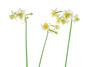 Narcisses (safran83) Tags: narcisses narcissus flower fleur jaune hiver pixelshiftresolution pentax k1
