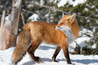 Red Fox in snow -   img_2250