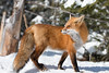 Red Fox in snow -   img_2250 (NicoleW0000) Tags: red fox snow vixen beautiful wild wildlife photography predator animal outdoor winter
