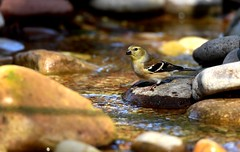 Goldfinch at bog stream DSC_3412 (blthornburgh) Tags: tampa thornburgh florida backyard bird nature outdoors goldfinch migration songbird