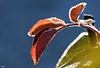 #AM feuilles givrées (thierrymazel) Tags: feuille leaf leaves gel givre hiver winter macro profondeur de champ