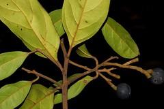 Cryptocarya cunninghamii (andreas lambrianides) Tags: cryptocaryacunninghamii lauraceae cunninghamslaurel cunninghamscoconutlaurel australianflora australiannativeplants australianrainforests australianrainforestplants arfp warfp ntrfp qrfp cyrfp lowlandarf dryarf arffs blackarffs