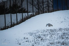 Dinner time . . . (Dr. Farnsworth) Tags: owl bird large white snow mouse vole dinner food snowyowl fernridge mi michigan winter january2017