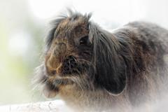 Tufty bonce... (Pog's pix) Tags: animal pet rabbit bella houserabbit bunny cute portrait eating behaviour hay fluffy indoors indoor inside stewarton ayrshire scotland eastayrshire tufty sweet hairdo longhair