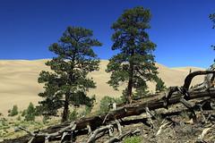 Ponderosa pines (Jeff Mitton) Tags: ponderosapine greatsanddunesnationalpark colorado trees conifer earthnaturelife wondersofnature