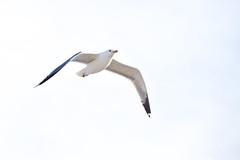 150503-gull-california.jpg (r.nial.bradshaw) Tags: bird photo nikon image wildlife creativecommons stockphoto stockphotography s11 royaltyfree attributionlicense apsc d7000 croppedsensor dxformat 18200afsdx rnialbradshaw