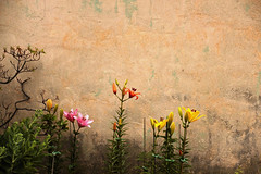 Up Against The Wall Mother Flower (2bmolar) Tags: flower wall day177 odc upagainstthewallmother day177365 365the2015edition 3652015 26jun15