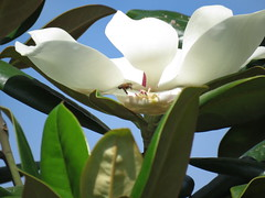 a bee is coming (oneroadlucky) Tags: white plant flower nature animal bee magnolia