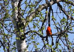 Scarlet Tanager (jd.willson) Tags: scarlet island bay maine jd tanager willson islesboro penobcot jdwillson