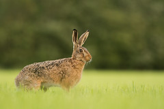 Brown Hare (Wouter's Wildlife Photography) Tags: nature animal mammal hare outdoor wildlife fullframe haas billund brownhare lepuseuropaeus zoogdier pattedyr