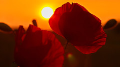 Poppies in the setting sun - Maki w zachodzącym słońcu (* mariozysk *) Tags: sunset sky orange sun beautiful 50mm petals takumar panasonic poppy poppies smc mak beuty słońce zachód słońca niebo piękny gx1 płatki pomarańczowe