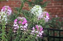 Duluth Flowers (Bella Lisa) Tags: flowers georgia bricks duluth duluthgeorgia
