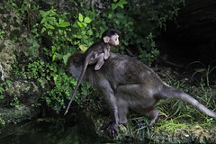 Baby Gets a Ride (Explored) (flutterbye216) Tags: baby water forest canon eos monkey florida miami mother jungle momma macaque monkeyjungle 60d canoneos60d challengeclubchampion