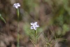 Dianthus (esta_ahi) Tags: barcelona espaa flores spain flora flor dianthus peneds caryophyllaceae silvestres clavellina olrdola