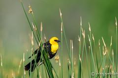 Among the Reeds (craig goettsch) Tags: bird nature nikon colorado wildlife ngc npc d750 avian montevistanwr yellowheadedblackbirdxanthocephalusxanthocephalus