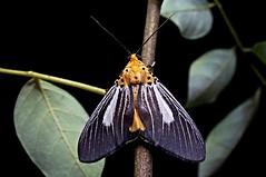 Asota Moth, Singapore (singaporebugtracker) Tags: macroinsect magpiemoth orangemoth longhornmoth macritchieforest zygaenidmoth mothsofsingapore singaporebugtracker raisingmoth asotamoth asotasubsimilis