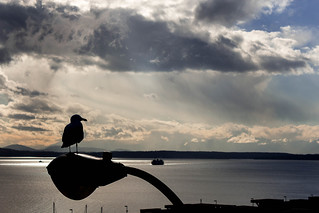Puget Sound Seagull