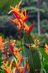 Olive-backed Sunbird (R. Francis) Tags: singapore singaporebotanicalgardens olivebackedsunbird nectariniajugularis