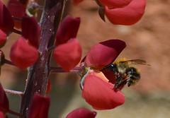 Buzzing around (lcfcian1) Tags: plant flower macro nature animal garden flying bee landing takeoff beelanding beemacro beeflying
