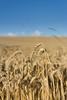 Am Feld.. | ..At the Field (KaiKummer) Tags: blue sky tree nature field closeup cornfield background natur azure feld himmel blau bäume blauerhimmel nahaufnahme hintergrund getreide grainfield getreidefeld azurblau azureblue