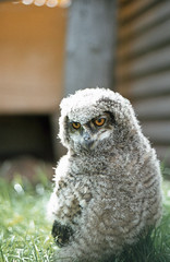 Eagle owl chick (SteveInLeighton's Photos) Tags: transparency england gloucestershire agfachrome 1981 may newent chick owl